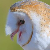 Barn Owl Screeching 75677