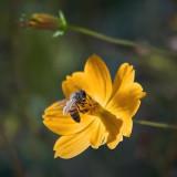 Bee On An Orange Flower 75879
