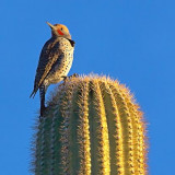 Woodpecker On A Cactus 75955