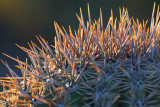 Saguaro Cactus Crown 75968