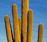 Saguaro Cactus 75938
