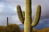 Saguaro Cactus 76415
