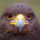 Harris's Hawk Closeup 76721