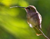 Hummingbird Tongue 76644