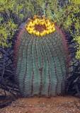 Barrel Cactus 76926