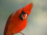 Cardinal 77284