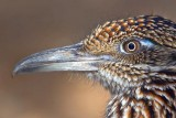 Roadrunner Closeup 77292