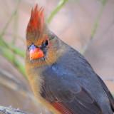 Cardinal 77330