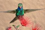 Hummer Homing In On A Fairy Duster 87444