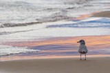 Gull At Sunset 69550-Crop4