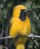 Hooded Oriole 87456