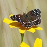 Desert Butterfly 75151 (crop)