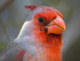 Cardinalis Hybrid Closeup 86977