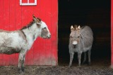 Miniature Donkeys 87623