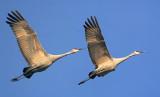 Sandhill Cranes In Flight 73150