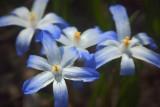 Blue & White Wildflowers 20080421