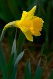 Daffodil 20080423