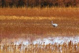 Lone Sandhill Crane 73011