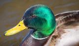 Duck Closeup 20080424
