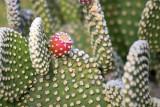 Prickly Pear Cactus & Fruit 72991