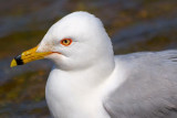 Ring-billed Gull Closeup 87805