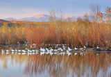 Snow Geese On A Pond 73281