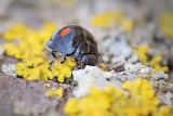 Twice-stabbed Lady Beetle 87870