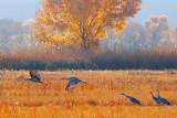 Sandhill Cranes 73556