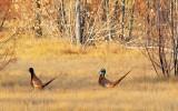 Two Pheasants 73485