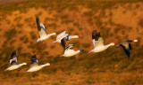 Snow Goose Fly-Out 73950