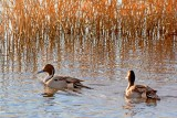 Pintail Ducks 73469