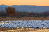 Snow Geese At Sunrise 73407
