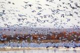 Snowing Geese 72892