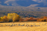 Cranes In A Field 72719