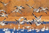 Snow Geese Fly-Out 72606
