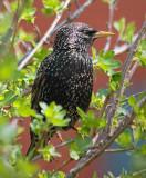 Starling In A Bush 20080430