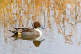 Pintail Duck Swimming 73018