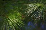 Pine Needles 20080502