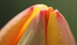 Blooming Tulip Tip 20080503