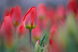Red Tulips 88126