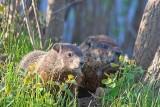 Young Beaver & Parent 88324