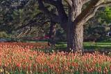 Tulips & Trees 20080506