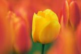 Yellow Tulip Among Red 20080508