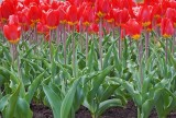 Red Tulip Bed 88643