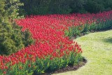 Parliament Hill Tulip Bed 88364