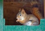 Red Squirrel In A Bird Feeder 88906