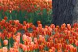 Orange Tulip Bed 89030