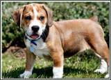 Tug  the puppy BeaBull