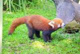 Cairns Tropical Zoo - 10 Red Panda 1.JPG