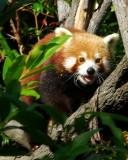 Cairns Tropical Zoo - 30 Red Panda 3 IMGP7805.JPG